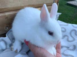 Beautiful boy netherland bunny