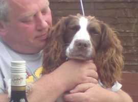 wanted ,,,female springer spaniel for rehome,,,,