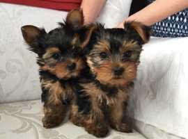 xxxx Micro xxxx Pedigree Yorkshire Terrier Puppies Ready for neqw home xxxxx