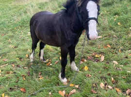 8 month old cob colt for sale