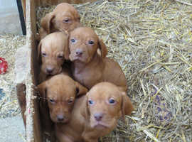 Hungarian Vizslas Puppies for sale honestly the best pups out there...