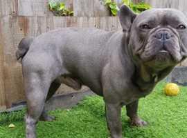 Solid French Bulldog stud