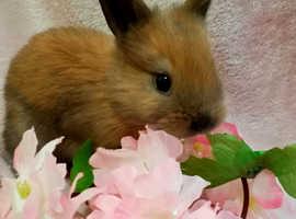 Mini Rex Cross Dutch Female Baby Rabbit