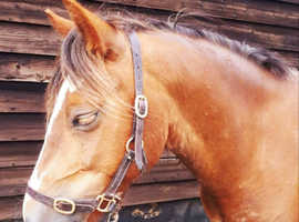 Flashy welsh section c gelding