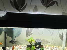 4 Goldfish including 2 Black Monk Fish