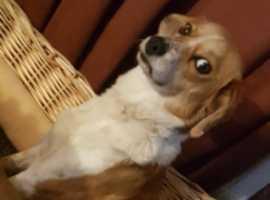 collie x beagle mix