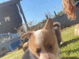 Pembroke Corgi puppies looking for 5* homes