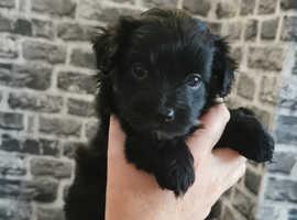One malshi pup left