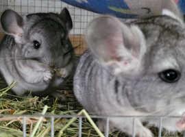 Chinchilla twin sisters
