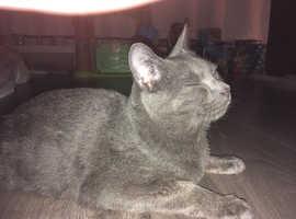 Male kitten grey