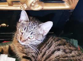 11 wks old bengal kitten