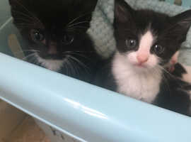 Kittens for sale £100.00 each
