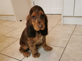 Show type chocolate tan cocker spaniel
