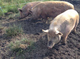 Breeding trio pedigree Tamworth pigs 2 sows & Boar