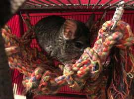Two 2 year old male grey chinchillas