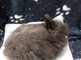 Angora x Lionhead rabbits
