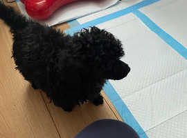 Toy poodle girl pure black 6 months old