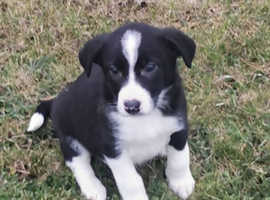 Pure Bred Border Collies Puppies