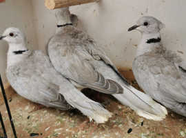 Beautiful isabelle colour barbary doves 4 available