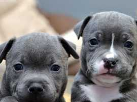 Paws-ukc Staffordshire Bull Terriers puppies for sale