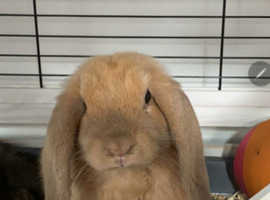 Two loving LONG flop rabbits for Sale and hucth