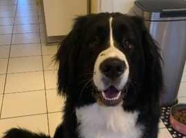 Newfoundland cross Bernese mountain dog