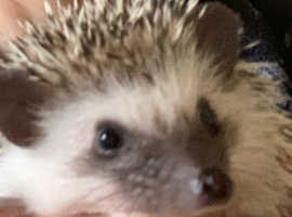 Male African Pygmy Hedgehog baby looking for his forever home...