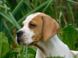 kc registered English pointers