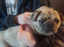 Stunning pug for sale so cute