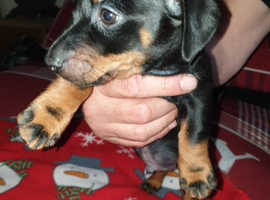 Beautiful litter of miniature dachshund x jrt - daxijacks