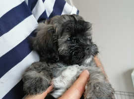 BICHON FRISE X SHIH Tzu puppies