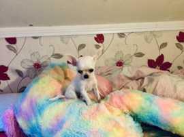 Exceptional tiny tiny tiny 17 wk  white boy chihuahua