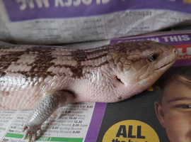 For sale. Blue tongue skink