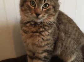 RESERVED, YOU MISSED ME! TICA Reg Pixiebob Male Kitten LH gentle boy.