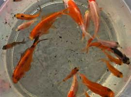 Homebred goldfish