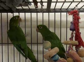 Rare pair white eyed conures