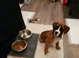 **READY TO LEAVE FOR LOVING HOMES** KC Boxer Pups