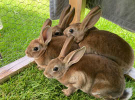 4 Rex rabbit castor bucks (boys) ready to go now