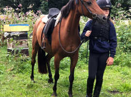 **Beautiful 12.2h bay pony**
