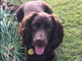 **WANTED** Chocolate Sprocker - either a Puppy or a Young Sprocker upto 3 years old for a loving home in Norfolk.