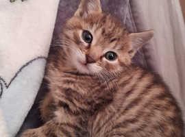 Norwegian forest/ Tabby kitten needs forever home