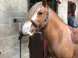 13.2, 10yr gelding for full loan