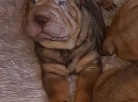 Beautiful shar pei puppies