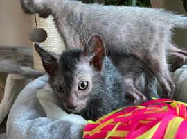 Lykoi kittens breeding or pet