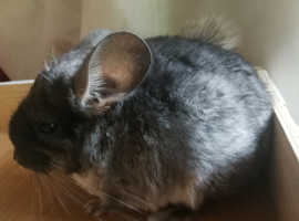 Chinchilla Baby Girl,  3 Months Old for sale now, Feltham,  TW13
