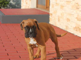 Boxer puppy boy need home
