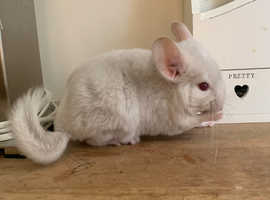 Baby Girl Chinchilla , 3 Months old, unusual color Blue Diamond for Sale Now