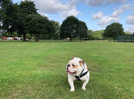 Lovely 1 year old english bulldog boy