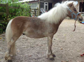 **NOW SOLD** TINY SILVER BAY AMERICAN MINIATURE YEARLING COLT