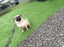 Pug stud